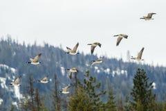 Oies volant dans la formation Images stock