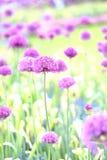 Oignon décoratif Photographie stock libre de droits