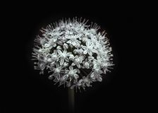 Oignon de floraison blanc d'isolement sur le fond noir, macro fin  Boule pelucheuse de fleur Légume de floraison photos stock