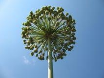 Oignon de floraison contre le ciel bleu. Images libres de droits