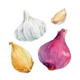 Oignon de semence d'aquarelle Image stock