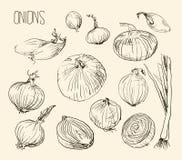 Oignon de semence, illustration Image libre de droits