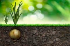 Oignon et herbe à l'arrière-plan vert Photographie stock libre de droits