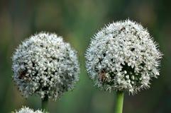 Oignon fleurissant pendant deux années Photographie stock