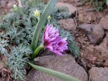 Oignon fragile - scilloides d'allium Photographie stock libre de droits