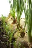 Oignon, persil et aneth Images stock