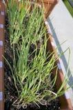Oignon poussant dans le pot sur le balcon Photographie stock libre de droits