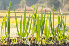 Oignon vert dans le jardin Photo libre de droits