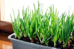 Oignon vert s'élevant dans la boîte sur la fenêtre DIY Le concept de l'aliment biologique sain NON-GMO photo libre de droits