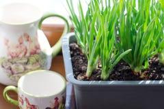 Oignon vert s'élevant dans la boîte sur la fenêtre DIY Le concept de l'aliment biologique sain NON-GMO photographie stock