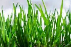 Oignon vert s'élevant dans la boîte sur la fenêtre DIY Le concept de l'aliment biologique sain NON-GMO photographie stock libre de droits