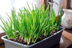 Oignon vert s'élevant dans la boîte sur la fenêtre DIY Le concept de l'aliment biologique sain NON-GMO images libres de droits