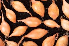 Oignons crus d'or image stock