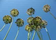 Oignons d'inflorescences contre le ciel bleu. Photographie stock libre de droits