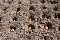 Oignons d'usine dans le sol en plans rapprochés Photographie stock