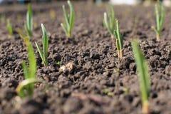 Oignons dans le jardin Image stock