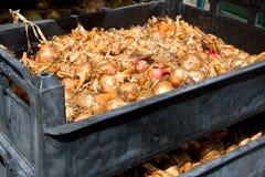 Oignons dans une caisse Photos stock