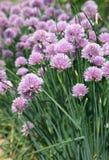 Oignons de floraison Images stock