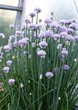 Oignons de floraison de ciboulette Image stock