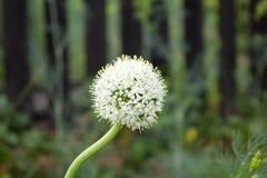 Oignons de graine d'inflorescence dans le jardin Photos libres de droits