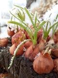 oignons de ressort en hiver photographie stock libre de droits