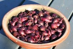 Oignons de semence rouge Image stock