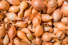 Oignons pour la plantation photos stock
