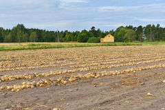 Oignons Récolte dans la fin d'été Photographie stock