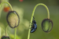 Oil beetle sitting on a poppy. Stock Photos