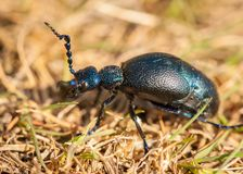 An oil beetle on a sunny day in spring royalty free stock images