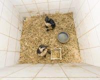 Oil birds in quarintine Stock Image