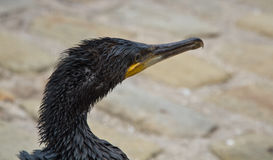 Oil covered cormorant Royalty Free Stock Images