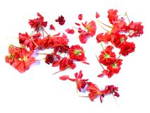 Oil draw geranium perspective, paint fresh delicate flowers and royalty free stock image