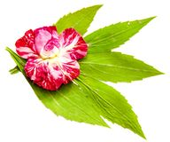 Oil draw illustration of set dry pressed scattered green chrysan. Themum leaves, striped pink rose flower and petals lies on white isolated with shadow.Photo Stock Photos