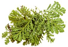 Oil draw illustration of set dry pressed scattered green fern le. Aves, isolated with shadow. Photo manipulation Royalty Free Stock Photo