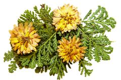 Oil draw illustration of set dry pressed yellow chrysanthemum on. Scattered green fern leaves, isolated with shadow. Photo manipulation Royalty Free Stock Image