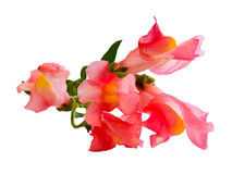 Oil draw illustration of snapdragons photo manipulation. Oil draw illustration of small bouquet of multi-colored snapdragons Stock Photo