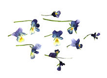 Oil draw paint large blue and white flowers pressed dry pansy. Isolated blossom Royalty Free Stock Photography