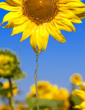 Oil flowing from sunflower head Royalty Free Stock Images