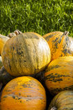 Oil Lady Godiva cucurbita pumpkin pumpkins from autumn harvest. On a market Royalty Free Stock Images