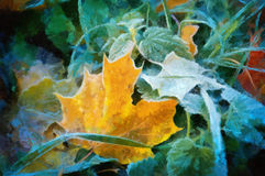 Oil maple leaves Stock Photos