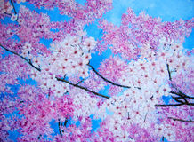 Oil painting of pink cherry blossom. Royalty Free Stock Photo