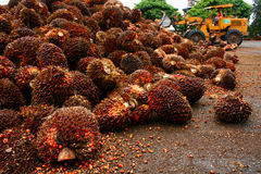Oil Palm royalty free stock photos