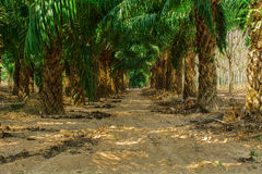 At an oil palm. Estate Royalty Free Stock Images