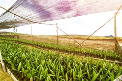 Oil Palm Plantation or Oil Palm Seeding stock photo