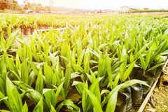 Oil Palm Plantation or Oil Palm Seeding royalty free stock images