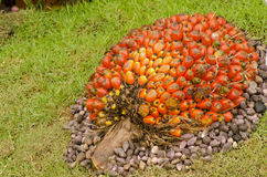 Oil palm. Royalty Free Stock Images
