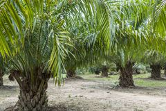 Oil palm, Thailand. Oil palm Elaeis guineensis, Krabi, Thailand, Asia royalty free stock photos