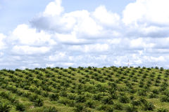 Oil Palm Estate. An oil palm estate with newly planted trees in Malaysia. Malaysia is the world's largest producer and exporter of palm oil Stock Image
