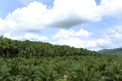 Oil Palm Estate. An oil palm estate with young (foreground) and mature (background) trees in Malaysia. Malaysia is the world's largest producer and exporter of Stock Images